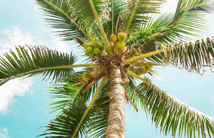 Bilde-kokosnotter-palme-ferie-akaal-yoga